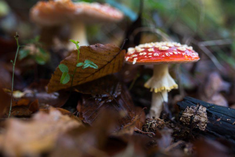 Champignon Dans Les Forêts De Rouen