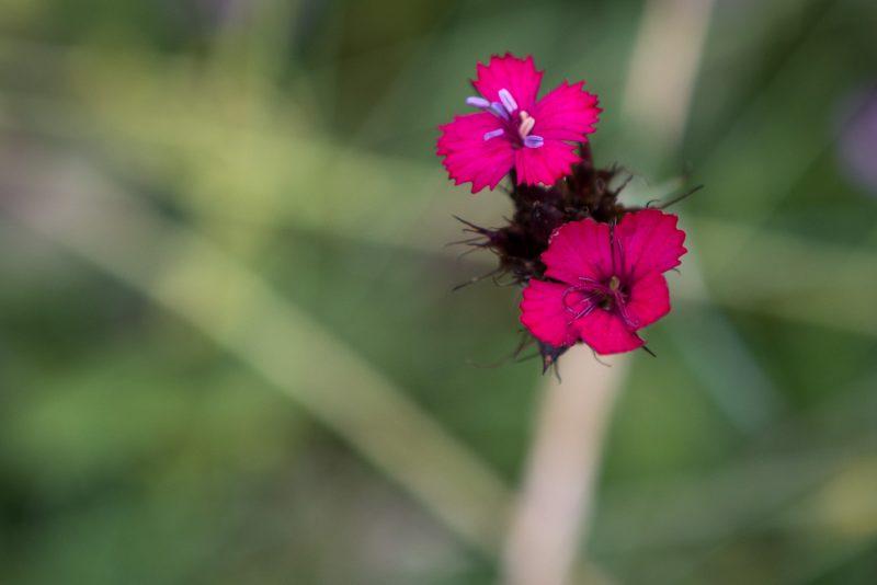 Fleur Des Montagnes Des Balkans