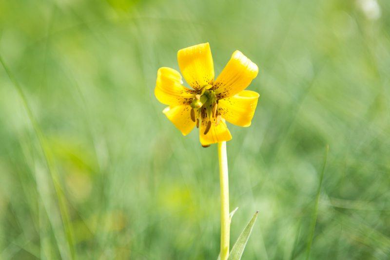 Fleur Des Montagnes Des Balkans - Lilium Albanicum