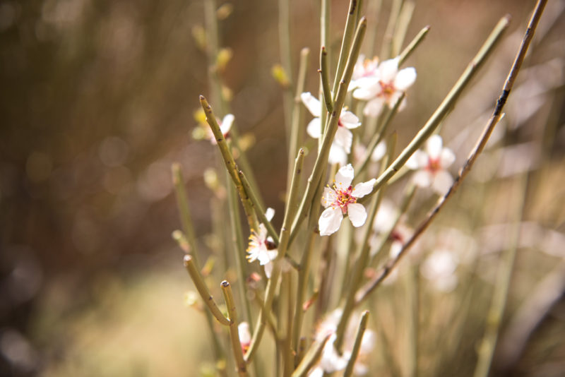 Fleur Du Désert - Iran