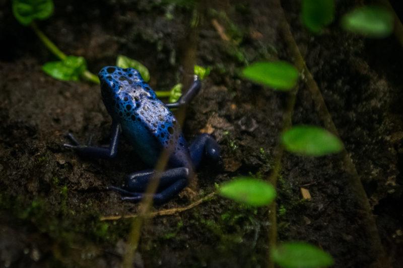 Grenouille Tropicale Bleue D'Amazonie