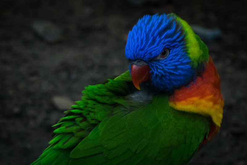 Perroquet Lorikeet